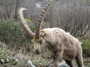 Ibex on the col des Montets on 26th May 2013