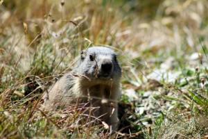 Marmotte-JCPoirot sept2011